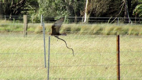 Hunter becomes the hunted: erfectly-timed snap captures Australia's deadliest snake being snatched by bird of prey Image