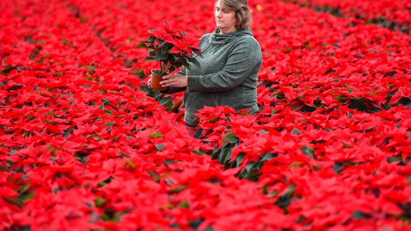 Stunning snaps show thousands of blooming poinsettias as nursery harvest Uk's favourite Christmas plant Image