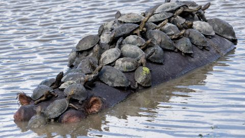 Hippo-pot-a-bus – turtles catch free ride on hippo's back Image