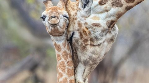 You're never too tall for a hug! Adorable moment baby giraffe cuddles up with mum Image