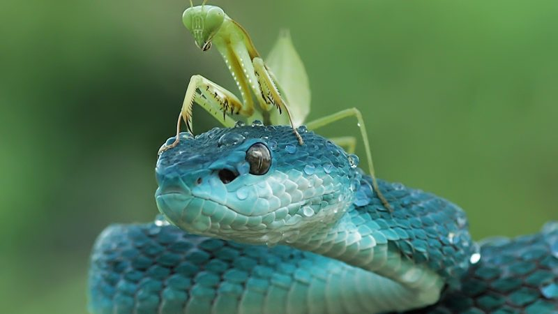 Mantis takes ride on rare blue viper's head Image