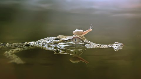 Snail uses crocodiles nose as diving board Image