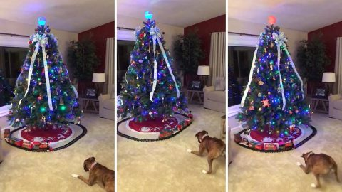 Not so all aboard! Boxer dog scared of toy train under Christmas tree Image