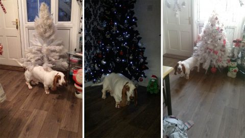 Dancing basset hound loves rocking around the christmas tree Image