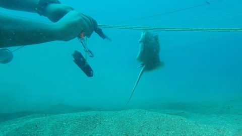 Watch: hero diver saves young stingray from net Image