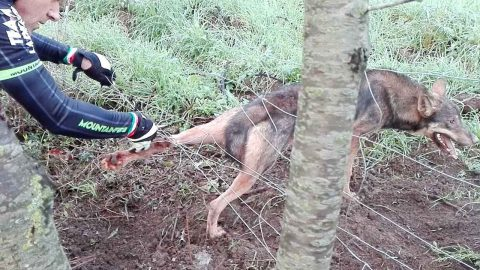 Severely wounded wolf trapped in wire fence attacks rescuer Image