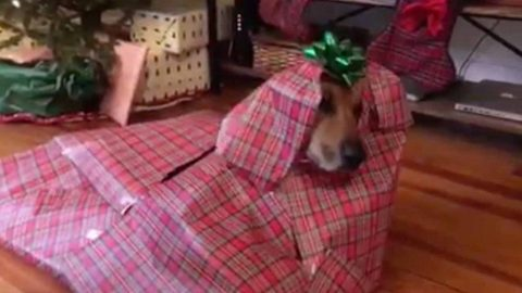 Merry paw-mas! Hilarious moment owner wraps pooch into perfect christmas gift Image