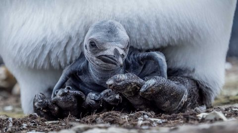 I want to beak free! Magical moments of penguin parenthood from egg insulating to the chick's first glimpses of the world captured in family p-p-portraits Image