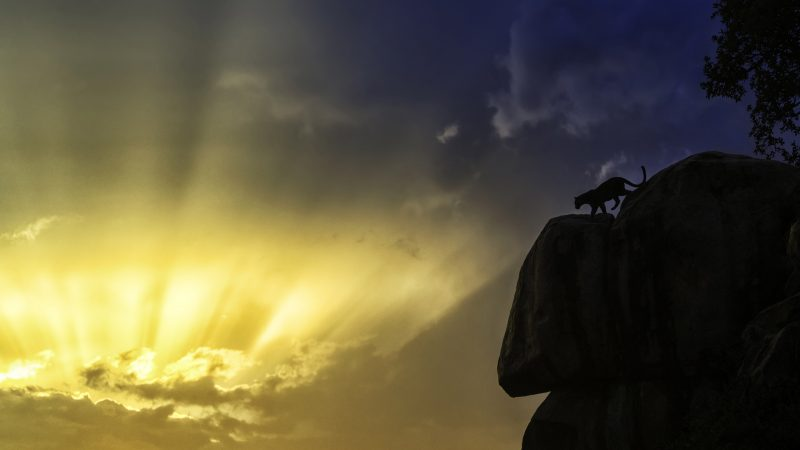 Stunning leopard silhouette looks like real life jungle book or Lion King Image