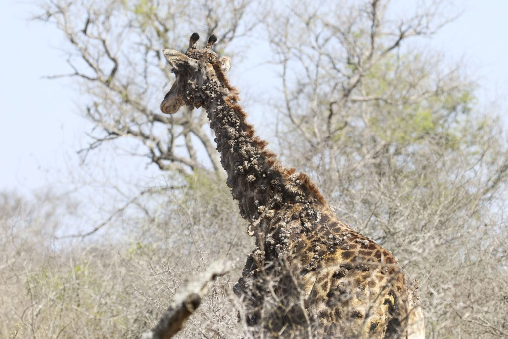 This Giraffe is Turning Into a Tree