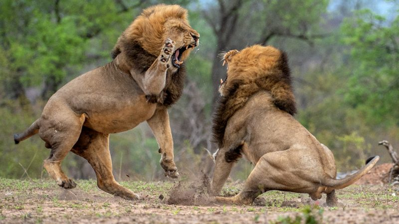 Roar and peace? Incredible images show battle for dominance between mighty lions Image