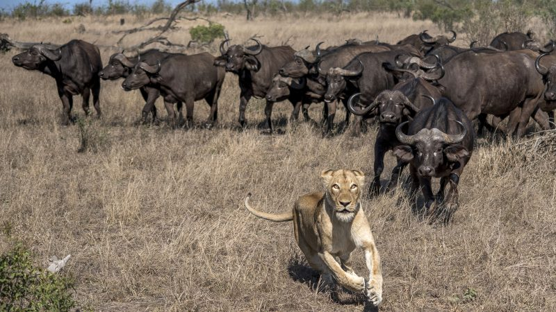 Scaredy cat! Ultimate fight of predator vs prey as herd of buffalo take on lion - and it turns tail Image