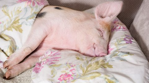 Pig in blankets! Animal-loving vegan mum lives with 110 creatures – even letting pig sleep in her bed Image