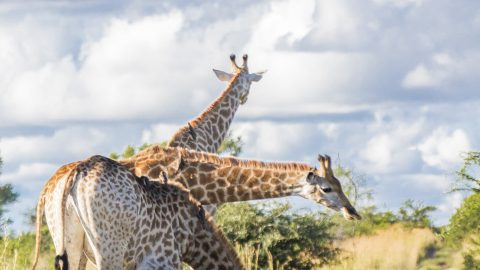 Three giraffes become one in perfectly-timed photo of them drinking from puddle Image