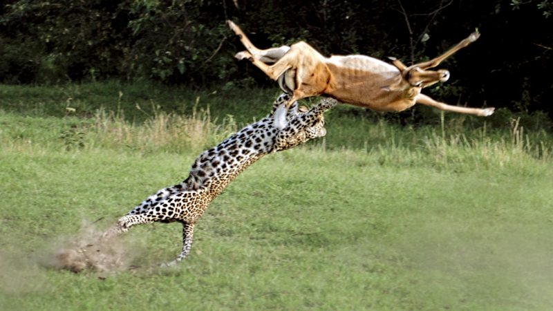 Great spot - Leopard jump for prey in savage attack in Africa Image