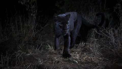 Feline Good – Rare Shots Emerge Of Black Panther Lurking In Wild Image