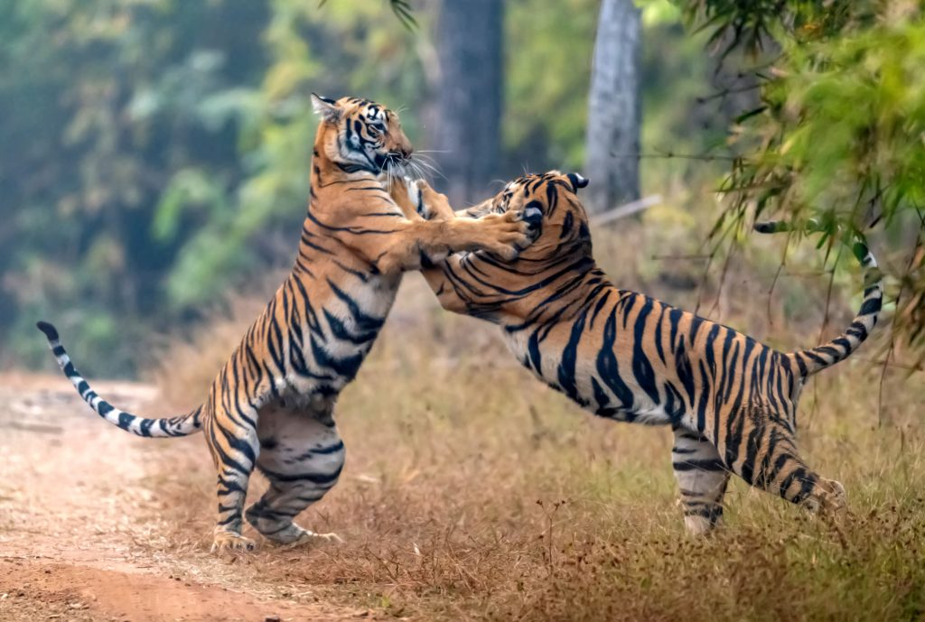 Image result for photo of big tiger