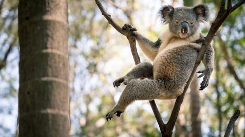 Paw-sitively seductive! Koala striking a sexy pose sets the internet alight Image