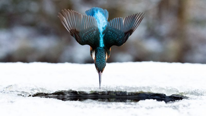 A meal fit for a kingfisher! Brazen bird bags herself dinner with perfect ice dive Image