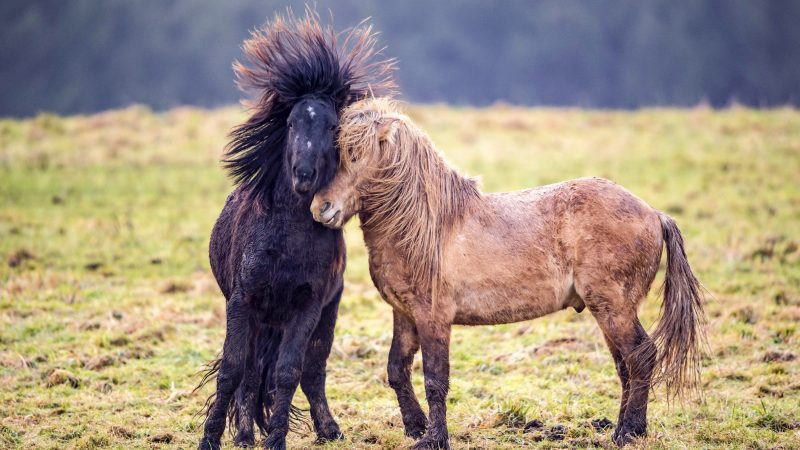 Bad mare day - Horses' hair stands on end after squabbling with one another Image