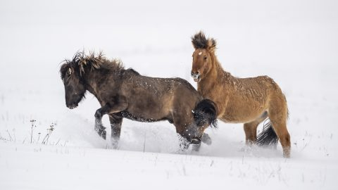 Rein it in - Horse given the hoof when galloping across snow white field Image
