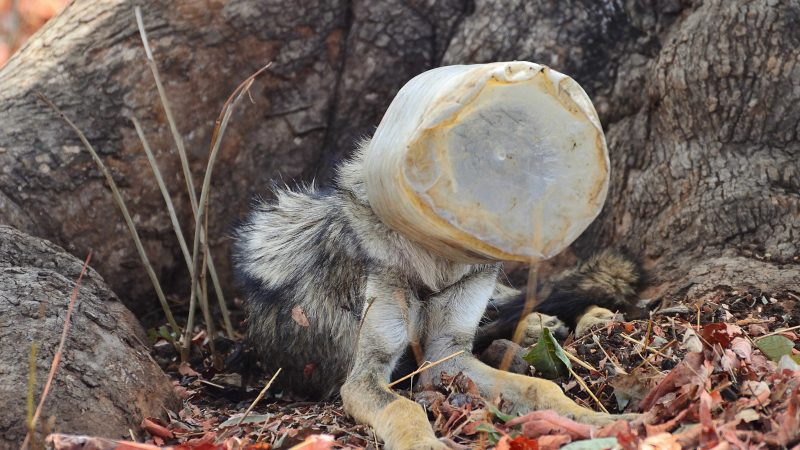Distressing Images Of Wolf With Its Head Stuck In Plastic Jar In Indian Forest Emerge Image