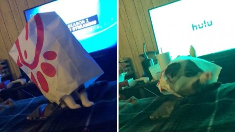 Cats not out of the bag – hilarious moment tabby falls off bed with a Chick-Fil-A bag on head Image