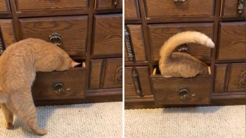 Crafty Cat Opens Drawer Before Climbing Inside For Nap Image