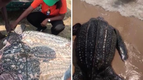 Giant Leatherback Turtle Returned To Sea After Locals Save It From Sale Image