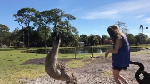 Grumpy Swan Chases Off Photographer As She Tries To Capture Snap Of Emu Image