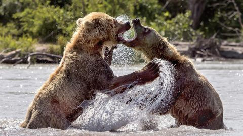 Fierce female bears lock jaws as they fight over fish in lake Image