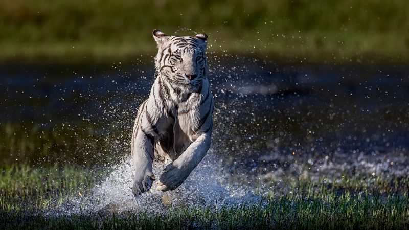 Stunning Images Capture 'Once In A Lifetime' Shot Of Rare Free Roaming White Tigers Image