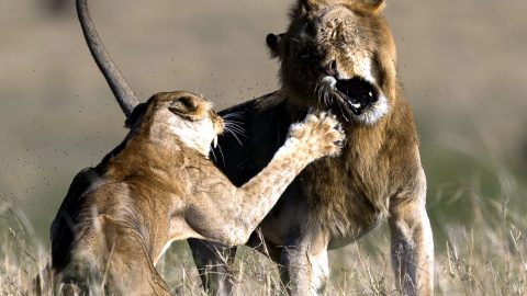 Hurt pride! Lioness rejects insistent male suitor – by punching him in the face Image