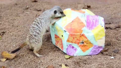 Baby Meerkats And Hungry Lemurs Treated To An Egg-cellent Easter Surprise Image