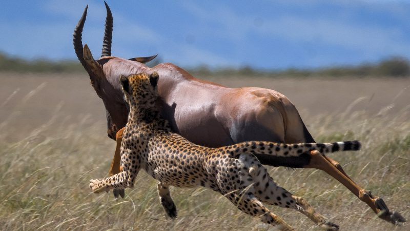 Cheet-ing Death! Antelope Gives Big Cat Run For Money During Hunt Image