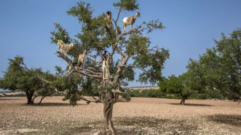 Campaigners Lift Lid On Popular Tourist 'goats In Trees' Photo Spot – Claiming It Is Staged For Money Image