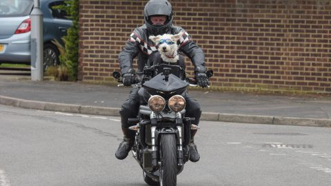 I'd Be Nothing Without My Doggo Pilot! Burly Biker Becomes Online Sensation For Drives Westiepoo Round In Basket On Front Of Triumph Image