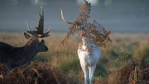 Oh Deer! Hilarious Shots Show Buck With World's Worst Hide And Seek Skills Attempting To Trick Pal Image