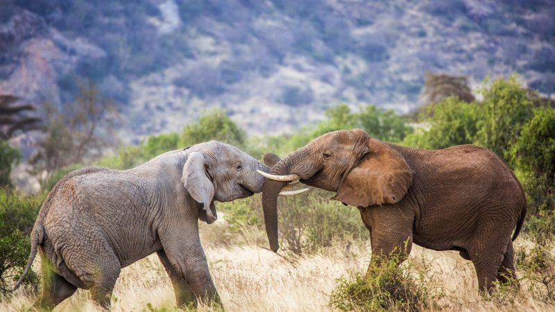 Colour The Elephant: Mammals' Multicoloured Fight Caught On Camera Image