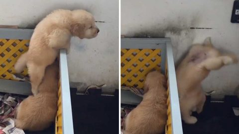 Smart Puppy Escapes Enclosure By Climbing On Little Friend's Shoulders Image