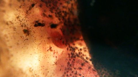 Ribbeting Microscopic Footage Focuses On Circulatory System Of Tiny Tadpole Image