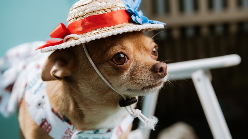 Fit For A Princess! Chihuahua Becomes Instagram Celebrity Amassing Thousands Of Followers Image