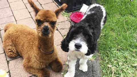 Best Of Al-pal-acs: Doggy Pair And Alpacas Strike Up Unusual Friendship Image