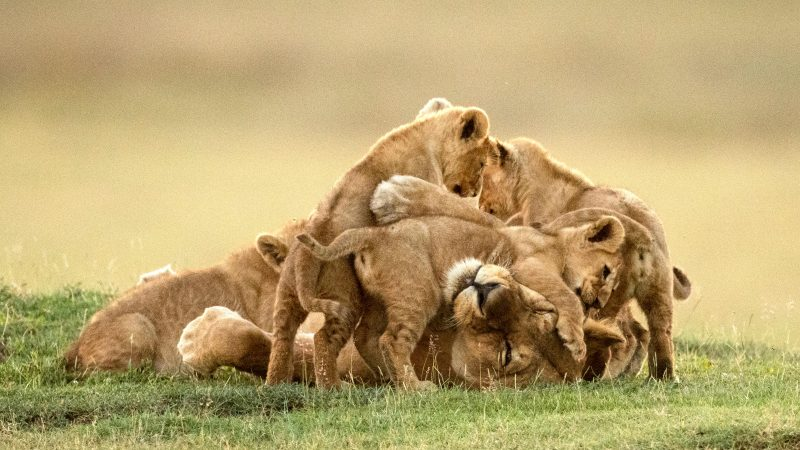 Lion Cub Pile On - Mother Swamped By Her Cubs In Adorable Photo Sequence Image