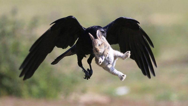 Given It The Hop! Quick-thinking Wildlife Snapper Saves Baby Bunny From Crow's Clutches – And Catches Whole Incredible Sequence On Camera Image