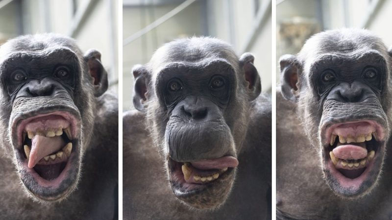 Hilarious Chimpanzee Pulling Faces To The Camera Image