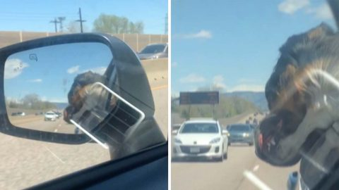 Adorable Pooch Falls Asleep With Head Handing Out Of Car Window Image