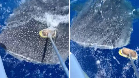 Incredible Moment Whale Shark Lets Man Pet It Image