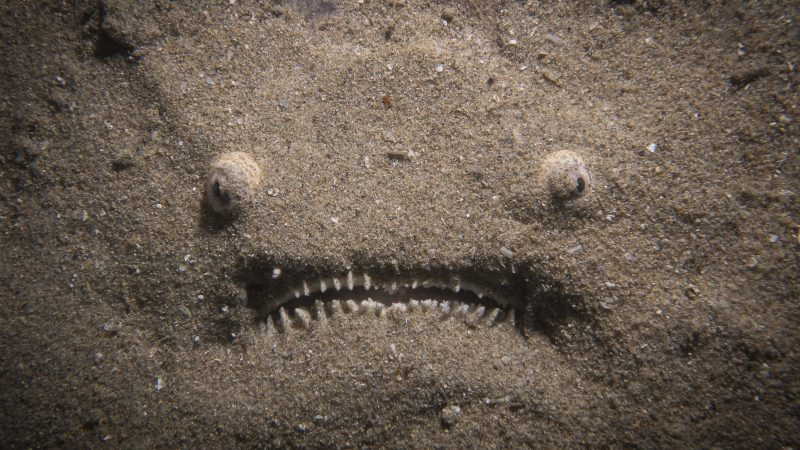 What Lies Beneath... Terrifying Photo Of Bizarre Looking Fish Lurking Just Beneath The Sand Image