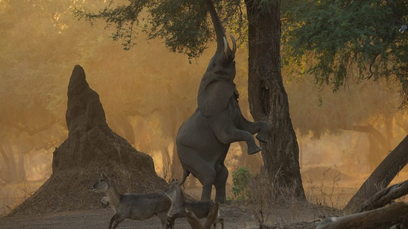 Brunch From A Branch – Photographer Captures Elephant's Foraging Technique Image